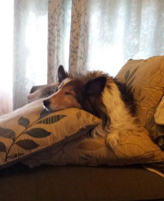 bandit-sheltie-sleeping