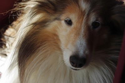 declan-sheltie-eyes