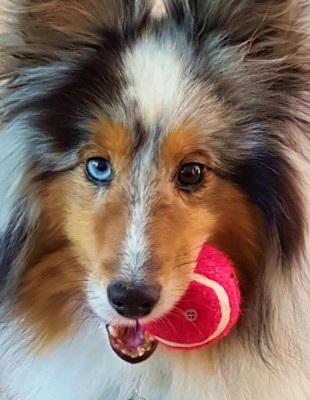 denver-sheltie-ball