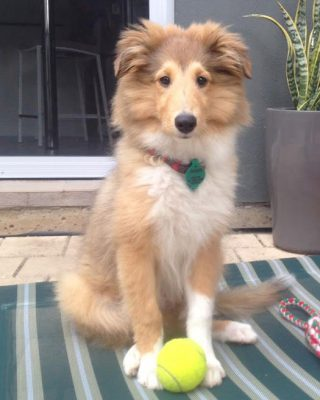 gordon-sheltie-ball