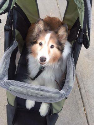 katie-stroller-sheltie