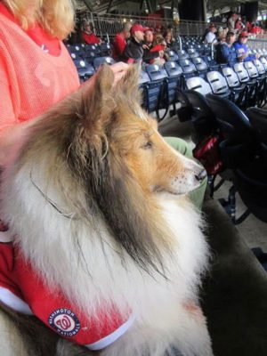 layla-ballpark-sheltie