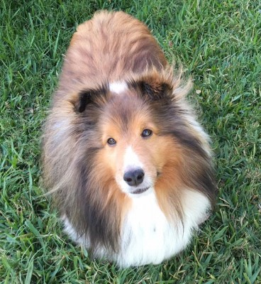 max-looking-sheltie