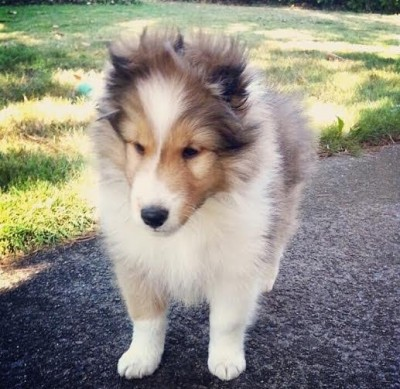 puppy-sophia-sheltie
