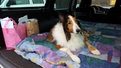 rescue-sheltie-toby-2