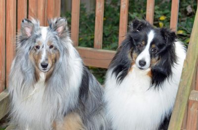rose-barrington-shelties