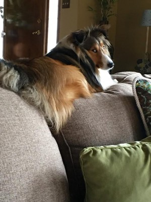 sheltie-jazz-eye