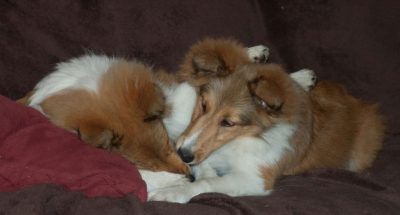 sheltie-pupies-cuddling