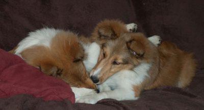 sheltie-pupies-cuddling