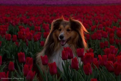 sheltie-tulips-kybeau