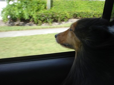 sheltie-wind-window
