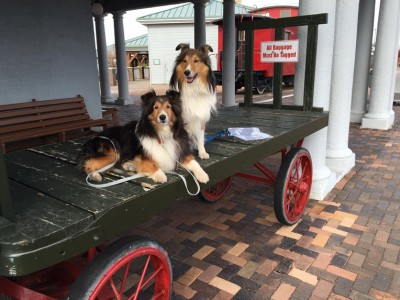 sparky-skipper-train-sheltie