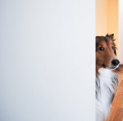 fergus-sheltie-lurking