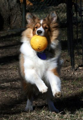 keegan-ball-sheltie