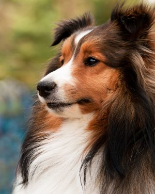 keegan-sheltie-photo