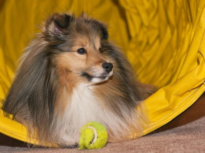patrick-ball-sheltie