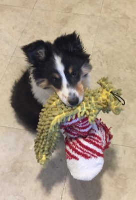 sadie-toy-sheltie