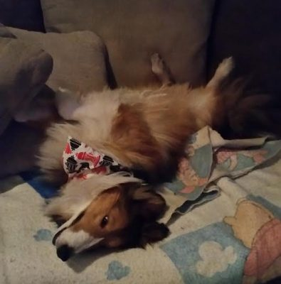 sheltie-benji-sleep