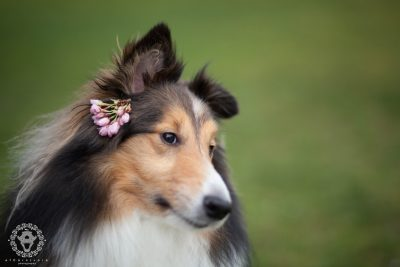 sheltie-chico-flower
