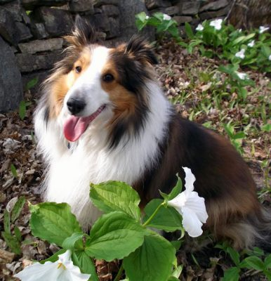 sheltie-fawna-flower