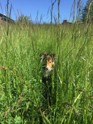 sheltie-grass-sparky