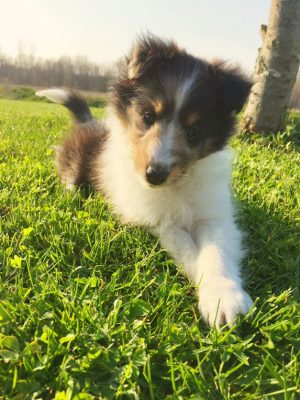 sheltie-puppy-callie