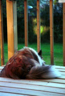 sheltie-waiting-porch