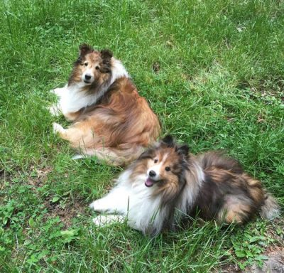 shelties-grass-smile