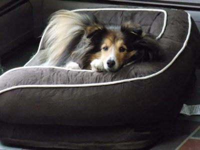 stewie-bed-sheltie-2