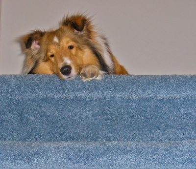 johnnie-watching-sheltie