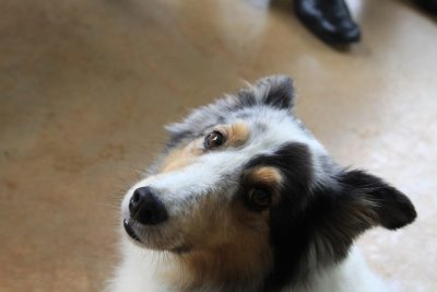 katie-sheltie-look