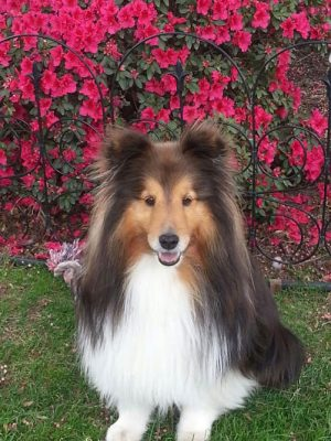 neelix-sheltie-flowers