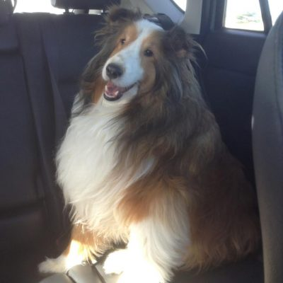 sheltie-rex-car