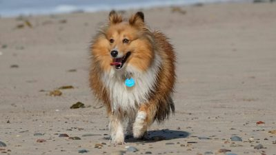 sheltie-running-beach