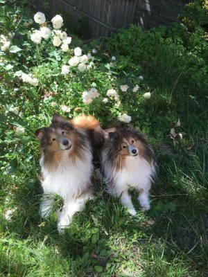 shelties-in-roses