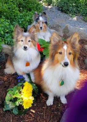 shelties-posing-garden