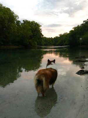 elliot-river-sheltie