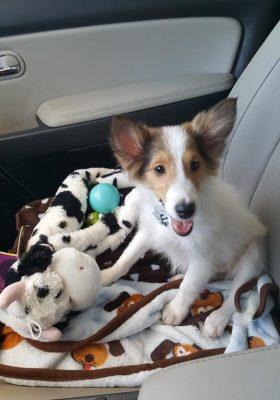 finn-sheltie-puppy