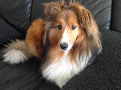 henrik-sheltie-golf
