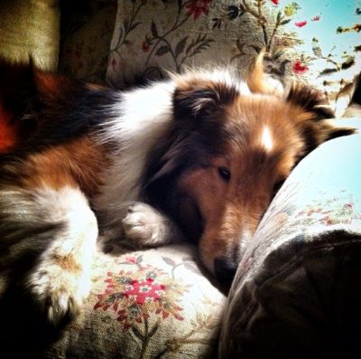johnnie-napping-sheltie