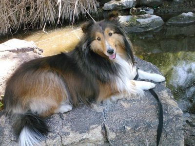 laci-sheltie-pond