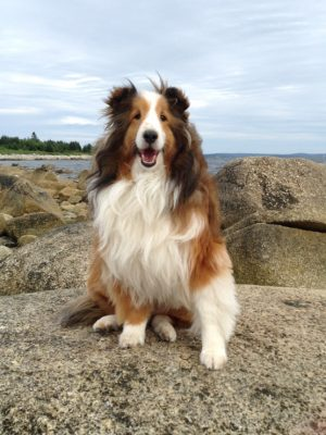 rex-sheltie-water-vacation