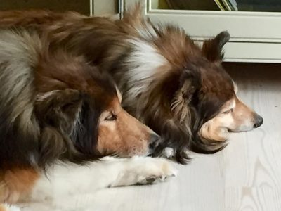 sleeping-shelties-nap