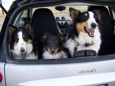 3-shelties-car