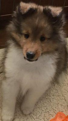 Niyolo-puppy