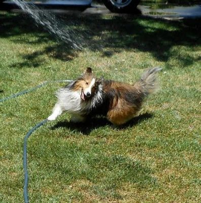 beau-sheltie-water
