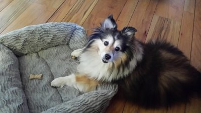 buttercup-sheltie