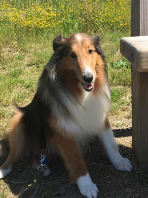 caleb-rescue-sheltie