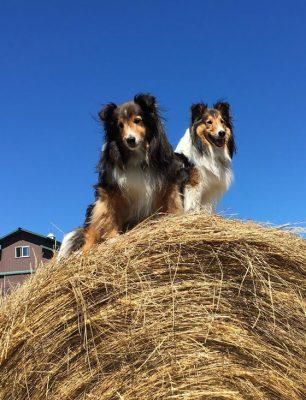 hay-wagon-sheltie
