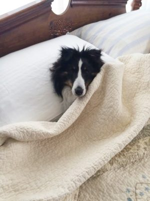 sasha-bed-sheltie
